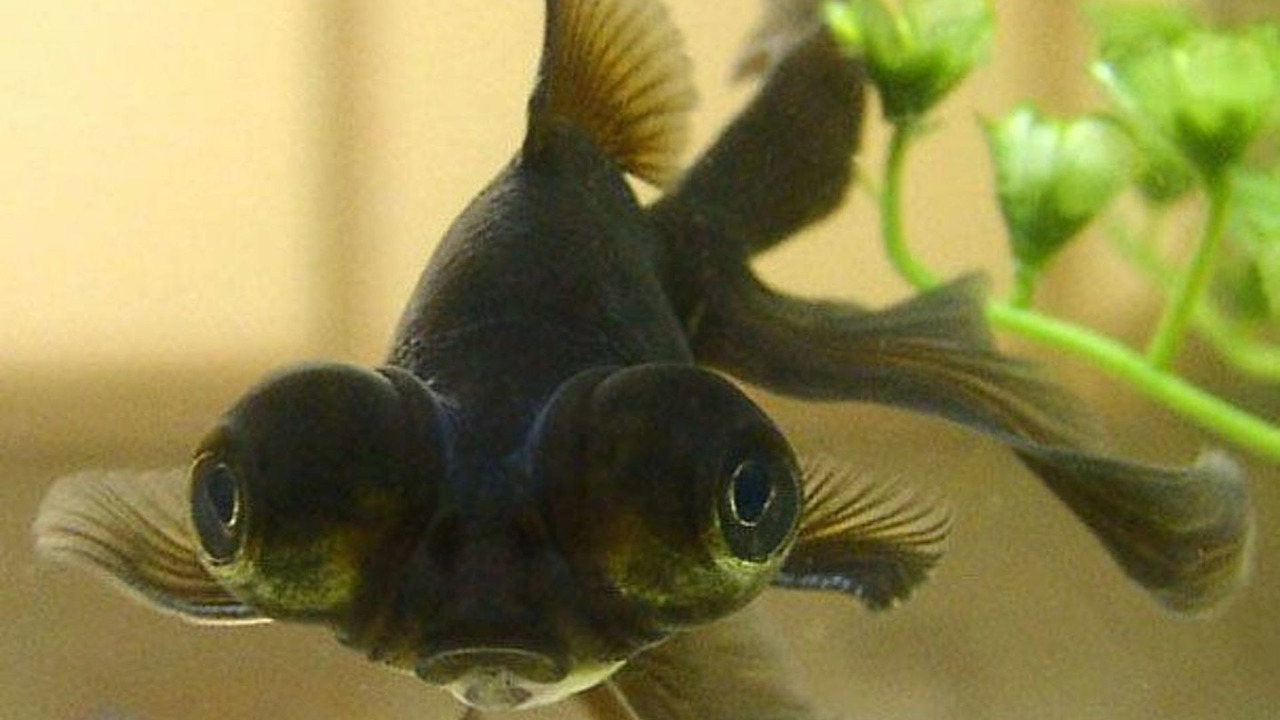 Black Moor Gold Fish