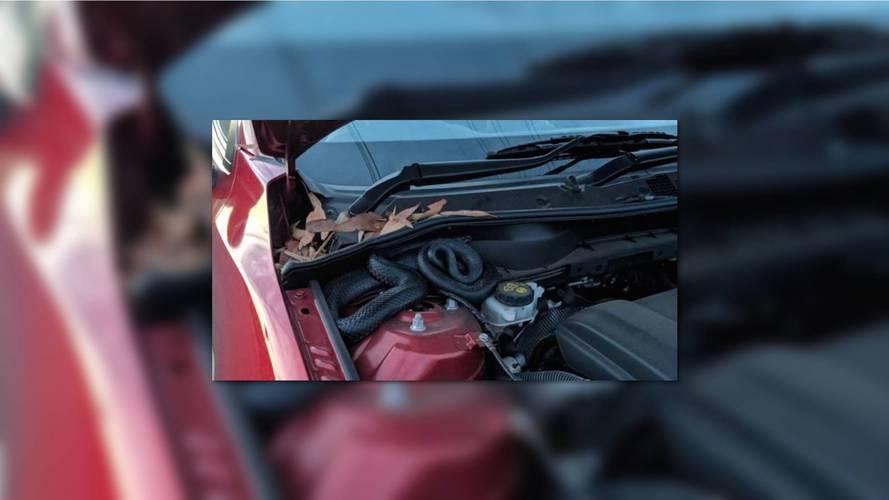 Kindly note saves Australian driver from killer snake