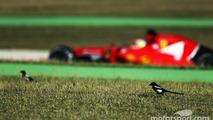 Esteban Gutierrez, Ferrari SF15-T Test and Reserve Driver passes birds in the grass