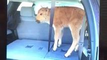 Calf in car